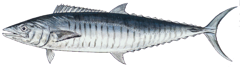 how-to-catch-spanish-mackerel